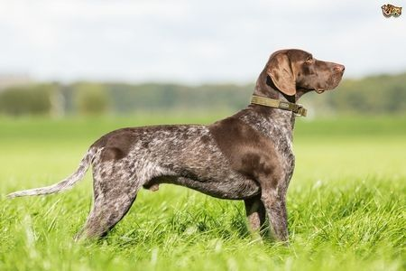 Gambar German Shorthaired Pointer