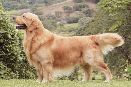 Gambar Golden Retriever