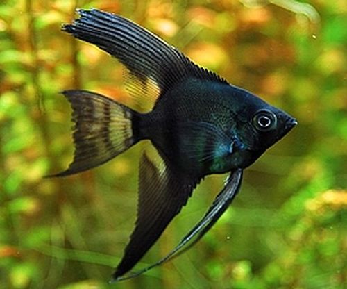 Gambar Ikan Black Lace Manfish
