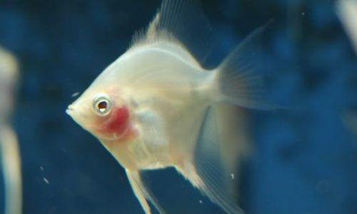 Gambar Ikan Blushing Manfish