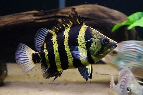 Gambar Ikan Datz