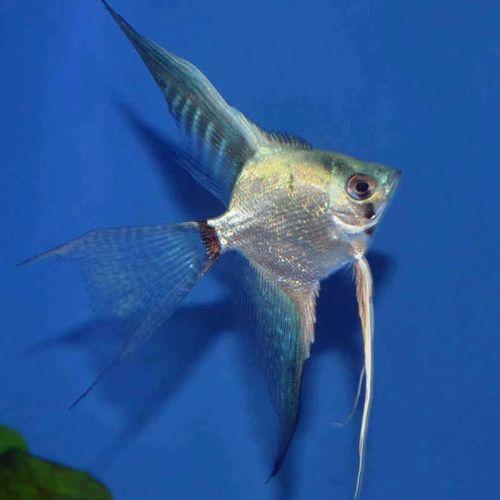 Gambar Ikan Ghost Manfish