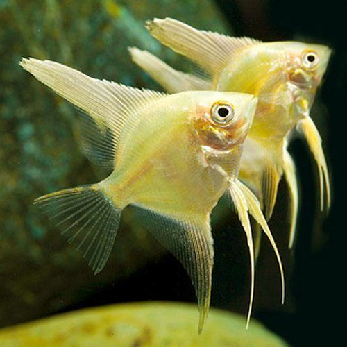 Gambar Ikan Gold Manfish