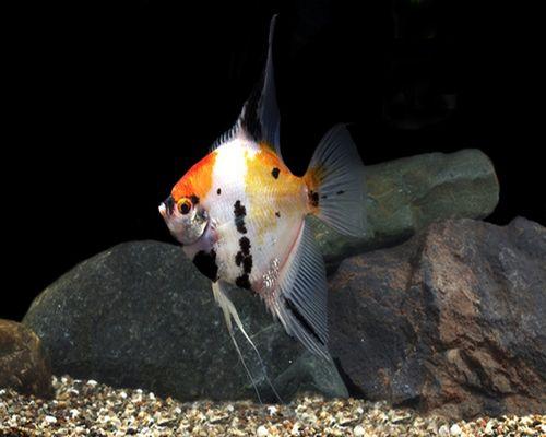 Gambar Ikan Koi Manfish