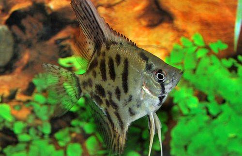Gambar Ikan Leopard Manfish