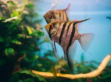 Gambar Ikan Manfish Belang