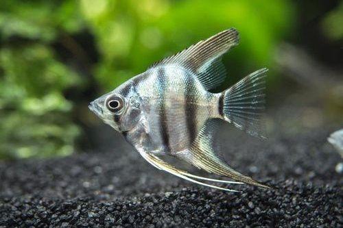 Gambar Ikan Manfish Zebra Biru