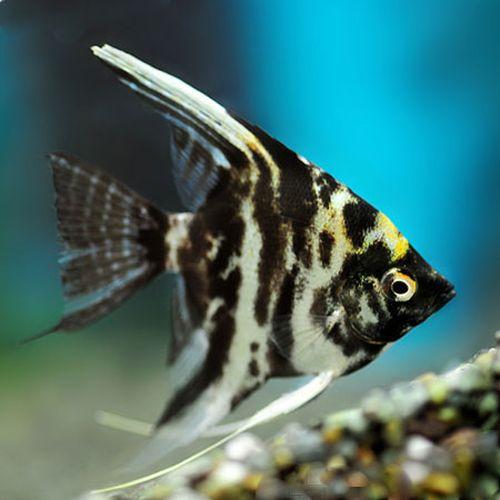 Gambar Ikan Marble Manfish