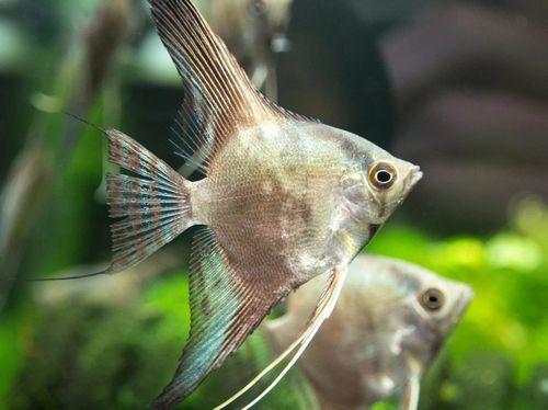 Gambar Ikan Smokey Manfish
