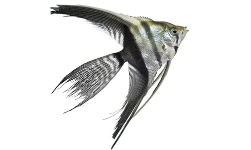 Gambar Ikan Veil Manfish