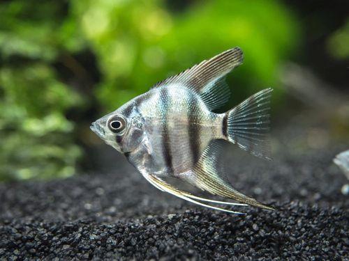Gambar Ikan Zebra Manfish