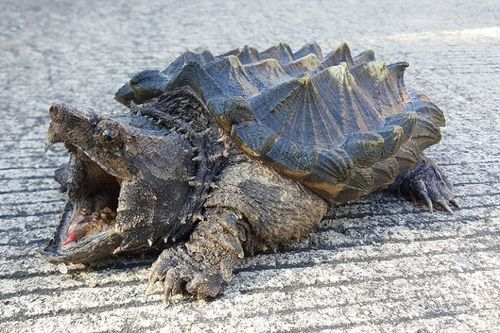 Gambar Kura-kura Aligator