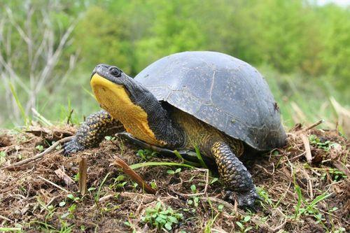 Gambar Kura-kura Blanding