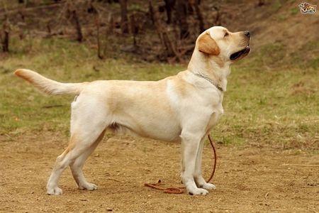 Gambar Labrador Retriever