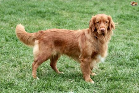Gambar Nova Scotia Duck Tolling Retriever