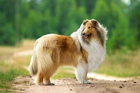 Gambar Rough Collie
