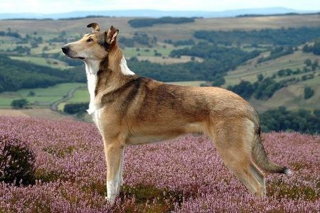 Gambar Smooth Collie