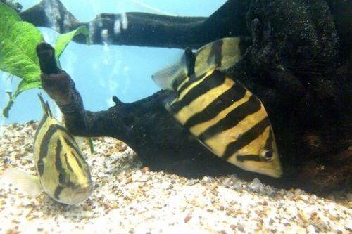 Ikan datnoid