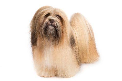 Anjing China Lhasa Apso