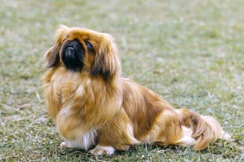 Anjing China Peking