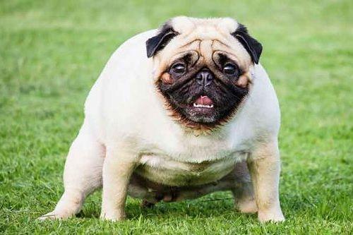 Anjing China Pug