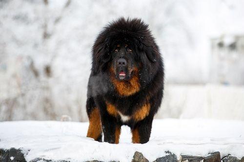 Anjing China Tibetan Mastiff