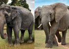 Beda gajah