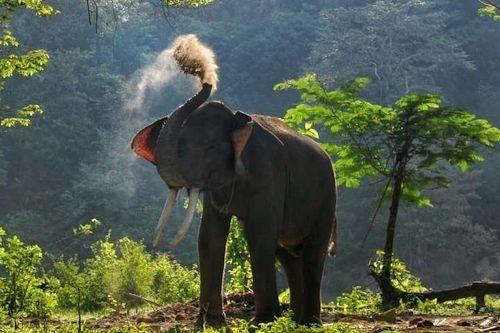 Gajah Sumatera Kebiasaan Habitat Makanan Populasi Dan Gambar