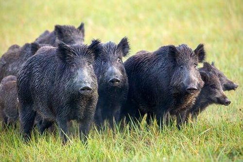 Foto Babi Hutan Eropa