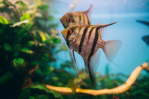 Foto Ikan Angelfish