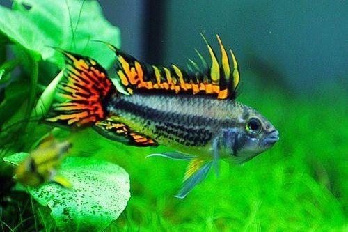 Foto Ikan Cockatoo Cichlid