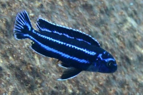 Foto Ikan Electric Blue Cichlid