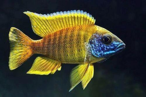 Foto Ikan Peacock Cichlid