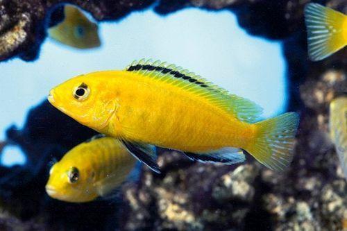Foto Ikan Yellow Lab Cichlid
