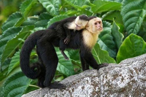 Foto Monyet Capuchin