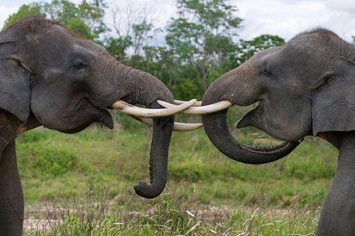 Foto gajah Sumatera