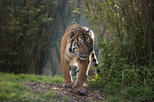 Foto harimau Sumatera langka