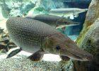 Gambar Ikan Aligator