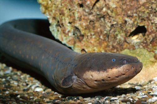 Gambar Ikan Belut Listrik