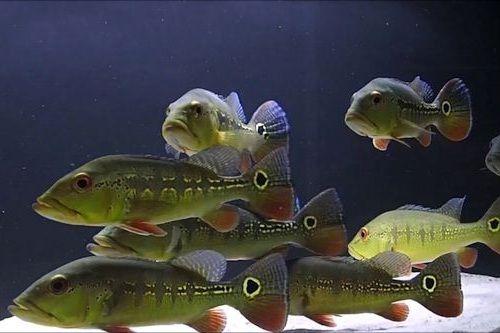 Gambar Ikan Cichla intermedia