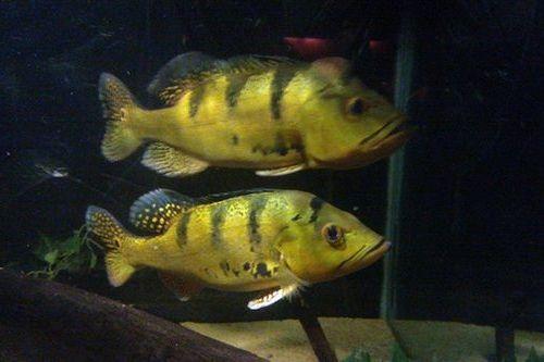 Gambar Ikan Cichla kelberi