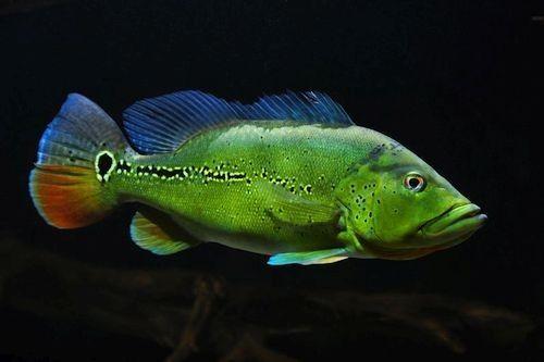 Gambar Ikan Cichla melaniae