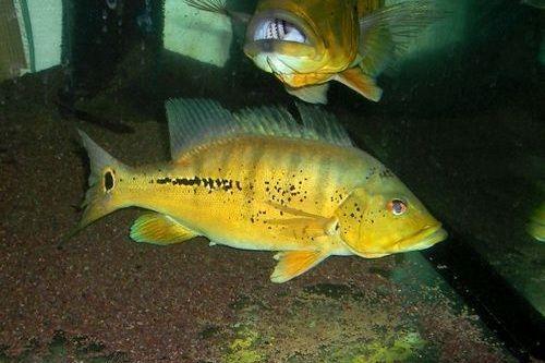 Gambar Ikan Cichla mirianae