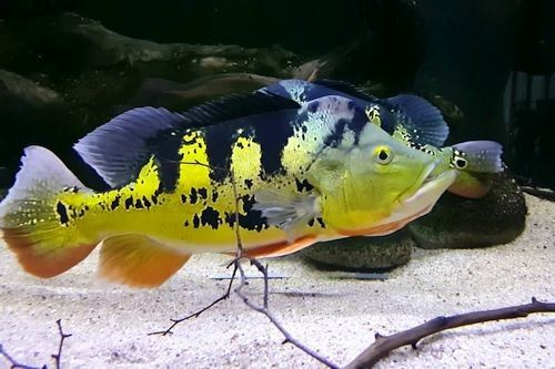 Gambar Ikan Cichla monoculus