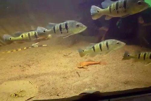 Gambar Ikan Cichla nigromaculata