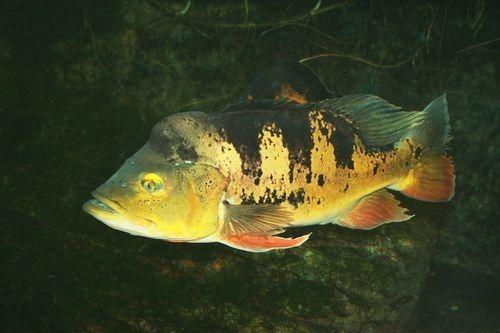 Gambar Ikan Cichla ocellaris