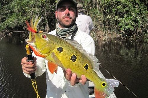 Gambar Ikan Cichla orinocensis
