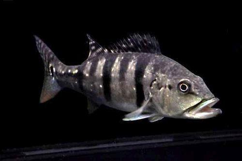 Gambar Ikan Cichla piquiti (azul)
