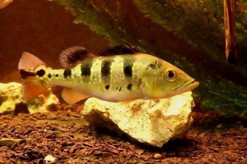 Gambar Ikan Cichla pleiozona