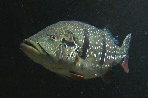Gambar Ikan Cichla temensis